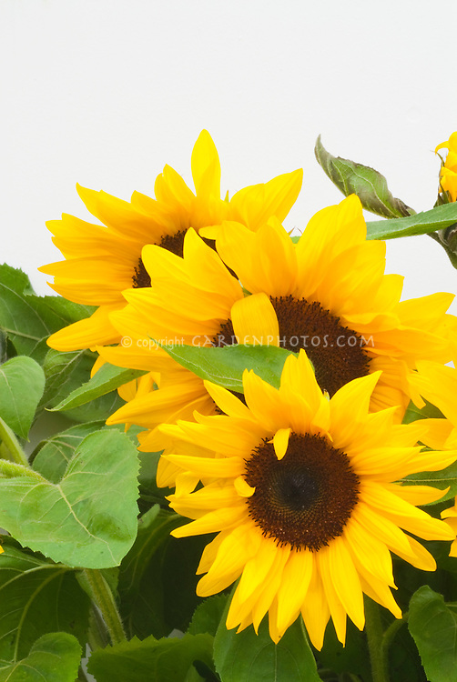 Helianthus Full Sun