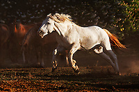 With a burst of speed, a powerful stallion named Phantom charges another stud at the Wild Horse Sanctuary in California.<br />