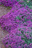 Teucrium capitatum subsp. majoricum flowering germander in New Mexico garden, design by Judith Phillips