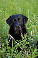 Black Labrador retriever (AKC) sitting in a summer field.  Winter, WI.
