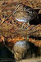 578636010 a wild wilsons snipe gallinago delicata poses at the edge of a pond at bosque del apache national wildlife refuge in new mexico