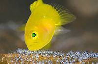 Yellow Goby, Lubricogobius exiguus, tending and aerating its eggs, Tulamben, Bali, Indonesia, Indo-Pacific Ocean