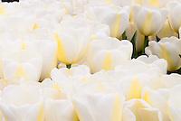 Tulipa 'Angel's Dream' (white tulips) pristine, glowing yellow stripes, spring flowering bulb