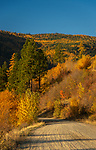 Fall color of golden tamarack trees along Myrtle Creek Road in North Idaho