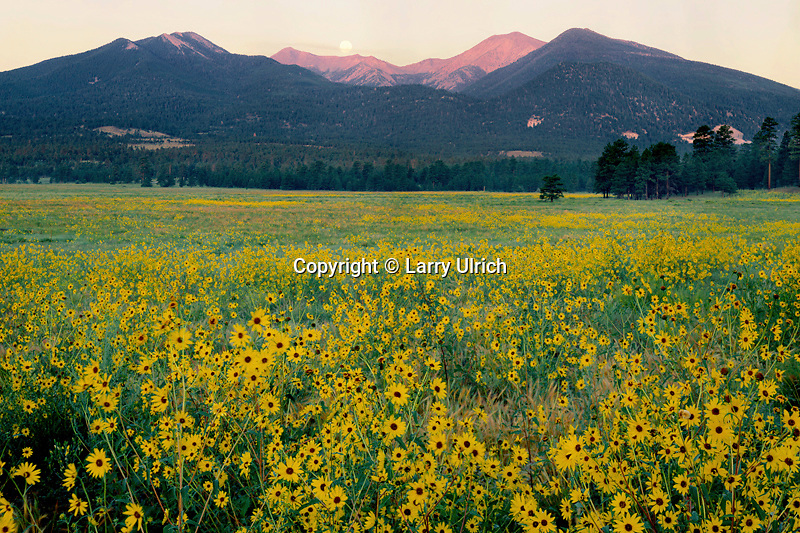 San Francisco Peaks at sunrise<br />   and sunflowers in Bonito Park<br /> Coconino National Forest<br /> Colorado Plateau,  Arizona