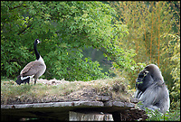 BNPS.co.uk (01202 558833)<br /> Pic: MichaelMechen/BNPS<br /> <br /> Stand off... Nico comes face to face with Canadian goose.<br /> <br /> Europe&rsquo;s oldest gorilla ended up getting his feathers well and truly ruffled after a bizarre confrontation with a grumpy goose.<br /> <br /> Nico, a 55-year-old silverback lowland gorilla, clearly didn&rsquo;t take kindly to a pair of Canada geese who attempted to invade his island home at Longleat Safari Park.<br /> <br /> The amazing encounter was captured on film by amateur photographer Michael Mechen during a visit to the Wiltshire safari park.