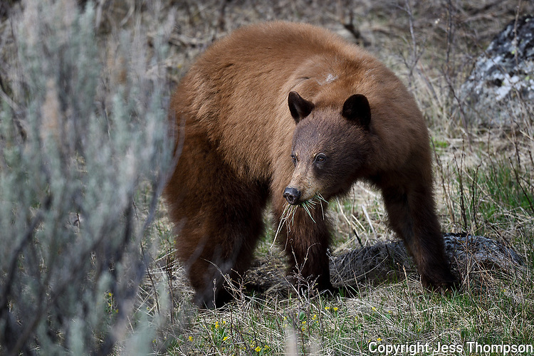 Cinnamon Black Bear, Yellowstone