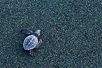 Olive Ridley Sea Turtle (Lepidochelys olivacea) hatchling making its way to ocean, Osa Peninsula, Costa Rica