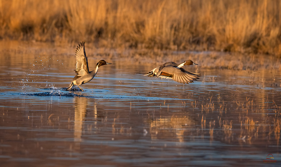 Northern Pintail (Anas acuta) high tail it out of the pond as thousands of Snow Geese arrive in the morning, just after sunrise. Bosque del Apache National Wildlife Refuge, New Mexico.