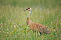 Sandhill Crane (Grus canadensis) in a flooded pasture. Sublette County, Wyoming. May.