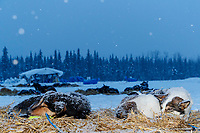 "Matt Failor's dogs ""Dio"" (R) and ""Torrent"" sleep on straw as a heavy snow falls in the evening at Nikolai during the 2018 Iditarod race on Tuesday March 06, 2018. <br /> <br /> Photo by Jeff Schultz/SchultzPhoto.com  (C) 2018  ALL RIGHTS RESERVED"