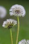Dandelion seedheads, Taraxacum officinale, Cumbria, UK