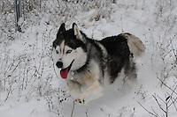 Siberian husky Lakota Sunrise aka Koty Bear photos of siberian huskies, husky photos, pictures of siberian huskies, best photos of huskies, best photos of siberian huskies