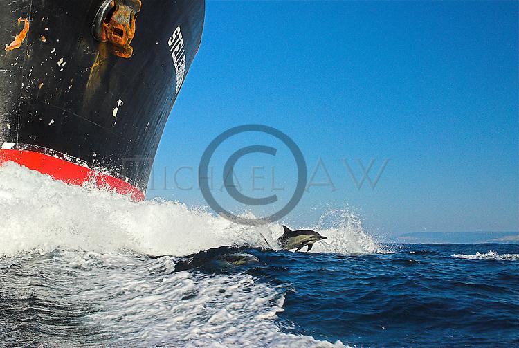 Dusky dolphin riding bow, South Africa, Wild Coast, Sardine Run, dolphins, Sharks, sardine, gannets