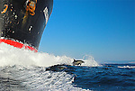 Dusky dolphin riding bow, South Africa, Wild Coast, Sardine Run, dolphins, Sharks, sardine, gannets