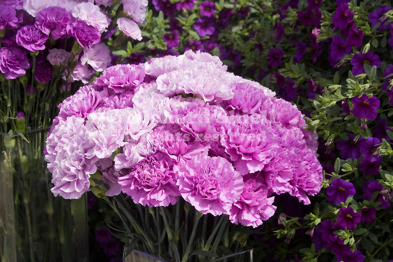Florigene Moon-series Genetically Altered Carnations, Dianthus cv.