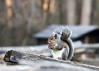 Cute squirrel holding a nut and balancing on wooden plank with an old cabin in background, at the great smoky mountains national park, USA- Free nature stock photo