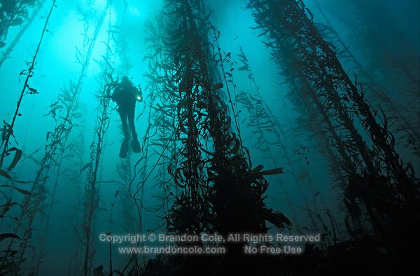 ld4054. scuba diver (model released) in kelp forest. California, USA, Pacific Ocean..Photo Copyright © Brandon Cole. All rights reserved worldwide.  www.brandoncole.com..This photo is NOT free. It is NOT in the public domain. This photo is a Copyrighted Work, registered with the US Copyright Office. .Rights to reproduction of photograph granted only upon payment in full of agreed upon licensing fee. Any use of this photo prior to such payment is an infringement of copyright and punishable by fines up to  $150,000 USD...Brandon Cole.MARINE PHOTOGRAPHY.http://www.brandoncole.com.email: brandoncole@msn.com.4917 N. Boeing Rd..Spokane Valley, WA  99206  USA.tel: 509-535-3489