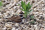 2721-FP Killdeer, two chicks, mother at nest, Charadrius vociferus vociferus, in Stillwater, MN