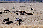 A family of feral hogs share a pasture with cows.  The hog's tendancy to root makes them an unwelcome guest.