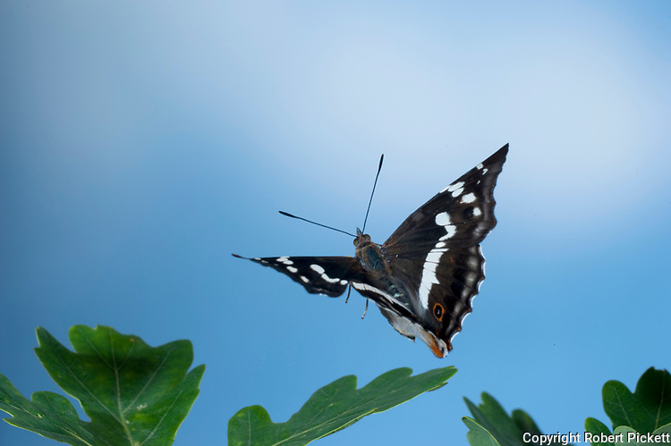Purple Emperor Butterfly In flight, Apatura iris, UK, natural flying, above oak leaves trees, high speed photographic technique, female