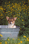 Pembroke Welsh Corgi puppy in a tin wash tub surrounded by dandilions Shopping cart has 3 Tabs:<br />