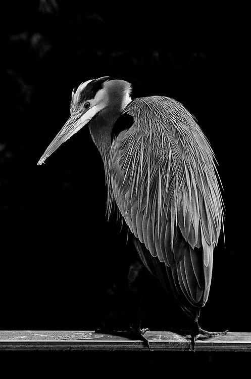 Great Blue Heron-Film