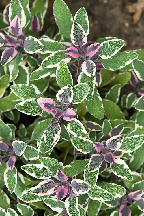 Salvia officinalis 'Tricolor', eaarly August. A form of common sage with variegated cream leaves flushed with pink-purple.