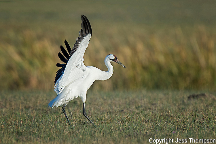 Whooping Crane lands in field.