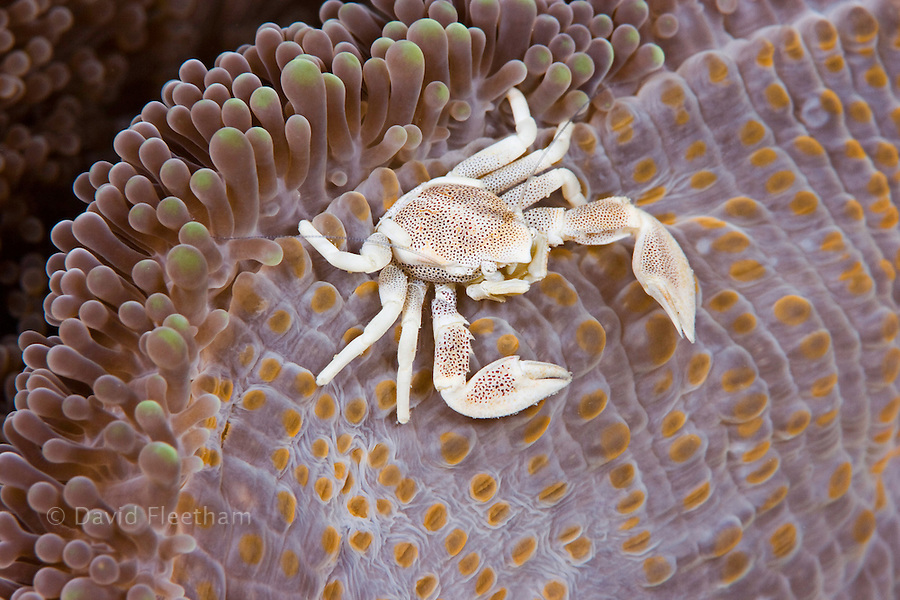 Porcelain crab, Neopetrolisthes maculata, on anemone.  The Island of Yap, Micronesia.