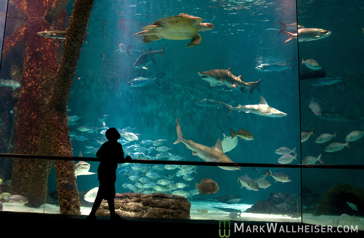 A young man enjoys watching the fish at the Gulf of Mexico exibit in the Audubon Aquarium of the AmericasAudubon Aquarium of the Americas in New Orleans, LA August 21, 2009.  (Mark Wallheiser/TallahasseeStock.com)