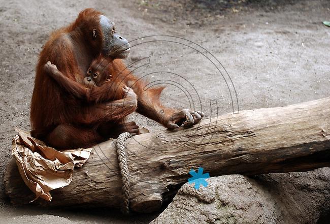 Pongoland Zoo Leipzig - MPI - im Bild: Oran-Utan - Tanah (baby) und Dokana.  Foto: Norman Rembarz ..