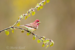 Purple Finch (Carpodacus purpureus) male in early spring with newly-emerged katsura leaves, Freeville, New York, USA