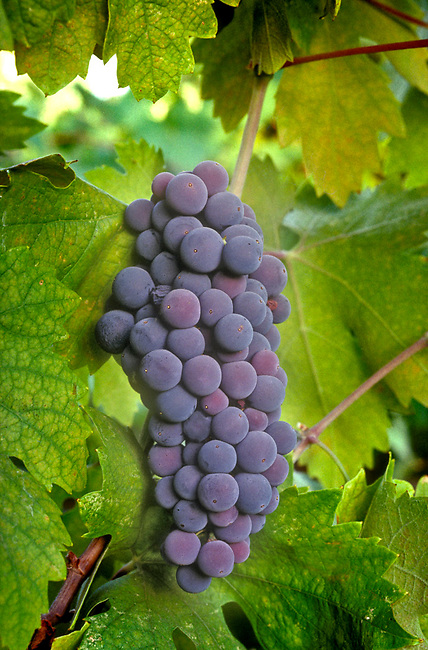 Zinfandel grapes ready for harvest