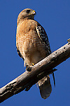 USA; California; Lakeside; San Diego; A Red Shoulder Hawk in Lakeside