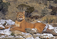 6565326257 a captive mountain lion felis concolor lays on a hillside covered in light snow in montana
