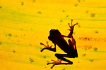 Hourglass Tree Frog silhouette through a leaf (Hyla ebreccata), Costa Rica