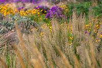 Calamagrostis brachytricha, Korean Feather Reed Grass or Diamond Grass, seed heads in Prairie garden Scripter garden, Colorado; design Lauren Springer Ogden