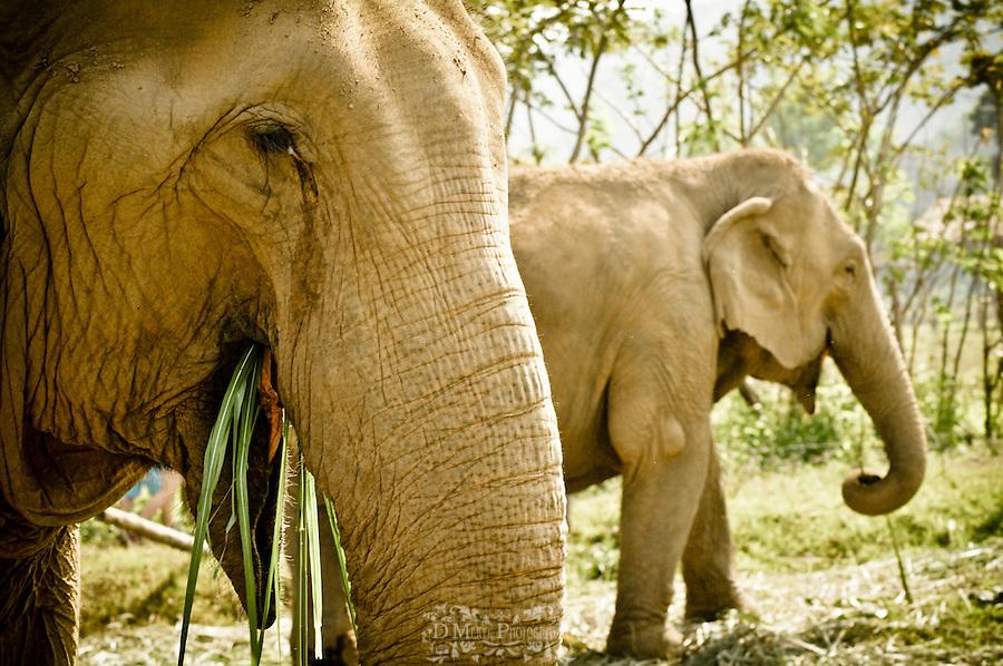 thailand, animals, nature, endangered, elephant, tourism, nature reserve, park, protection, volunteer, chiang mai, ayatthuya, grazing, cute, creative, mahout, love, mud bath, portrait