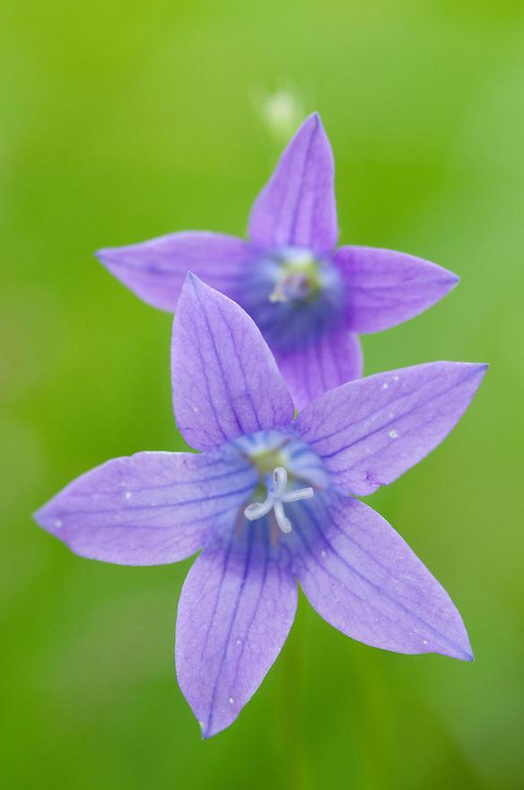 Wild bellflower (Campanula), Prypiat area, Belarus
