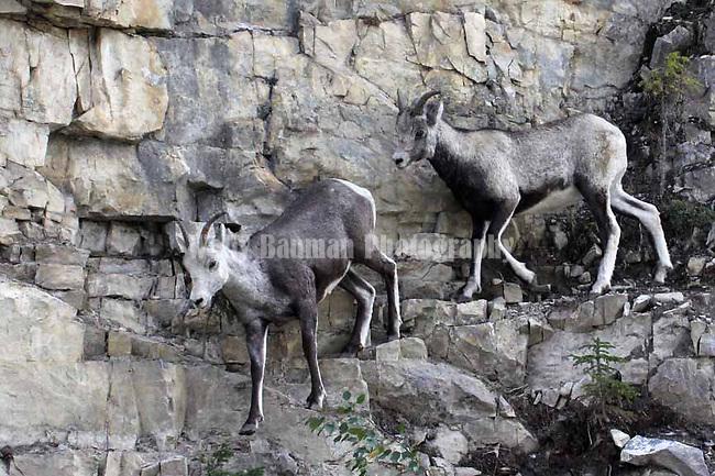 Stone sheep  Ovis dalli stonei,   subspecies of Dall sheep,