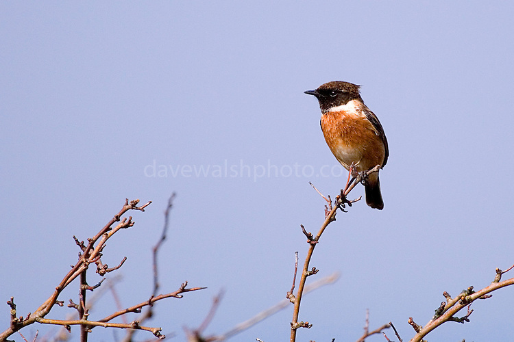 Disctinctive wildbird, this male Stonechat, was singing on a bush near the Rine Peninsula, Ballyvaughn, Clare