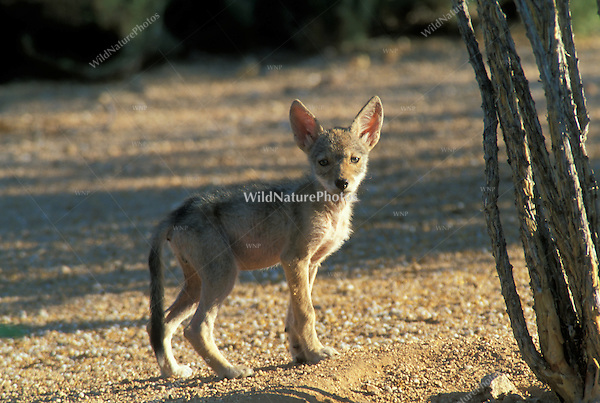 Coyote Pup at sunset