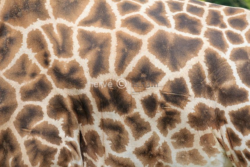 giraffe, dessin du pelage (Giraffa camelopardalis) // Girafe,  coat pattern (Giraffa camelopardalis)