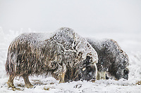 Musk Oxen cow and calf in frosty snow conditions, coastal plains of Alaska's Arctic.