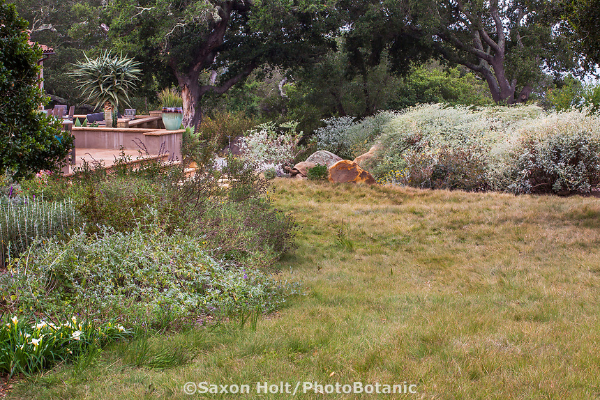 Bouteloua gracilis - blue grama California native grass lawn in summer-dry garden Santa Barbara California