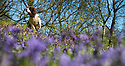 30/04/2012.  ..After days of cold, wet and and muddy walks, eight year old, springer spaniel, Monty, finally gets a chance to enjoy the spring sunshine surrounded by bluebells as temperatures in Bow Wood near Matlock, Derbyshire are expected to reach 17 degrees today...All Rights Reserved - F Stop Press.  www.fstoppress.com. Tel: +44 (0)1335 300098.Copyrighted Image. Fees charged will reflect previously agreed terms or space rates for individual publications, states or country.