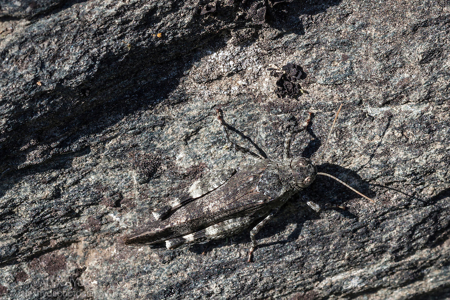 Blue-Winged Grasshopper {Oedipoda caerulescens} camouflaged on rock. Gran Paradiso National Park, Aosta Valley, Pennine Alps, Italy. July.
