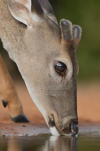 White-tailed Deer (Odocoileus virginianus), buck drinking, South Texas, USA