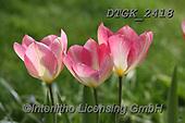Gisela, FLOWERS, BLUMEN, FLORES, photos+++++,DTGK2418,#f#, EVERYDAY